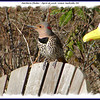 Northern Flicker (female) - April 28, 2008 - Lower Sackville, NS