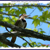 Northern Flicker (female) - June 7, 2008 - Lower Sackville, NS