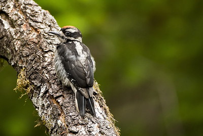 Immature Hairy Woodpecker at the Staircase, Olympic National Park near Hoodsport, Washington.