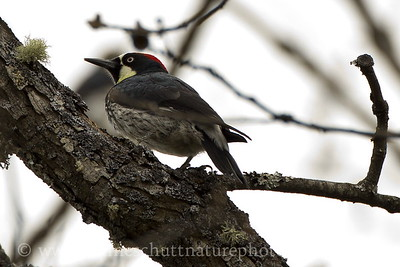 Acorn Woodpecker photographed along Balch Rd. near Lyle, Washington.