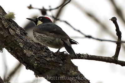 Acorn Woodpecker photographed along Balch Rd. near Lyle, Washington.