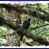 Black-backed Woodpecker (male) - July 14, 2007 - Mount Uniacke, NS