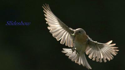 Short link: https://bit.ly/bluebirds71520