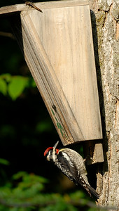 Yellow-bellied sapsucker is a medium sized woodpecker.