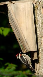 Yellow-bellied sapsucker is a medium sized woodpecker.