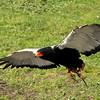 A Bateleur Eagle