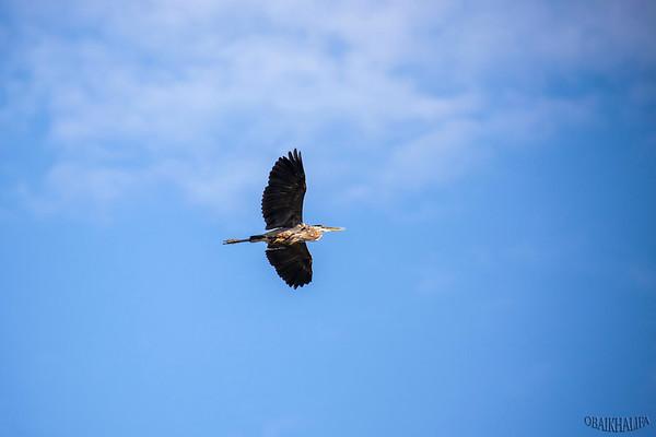 Flying grey heron over snake river