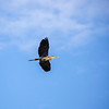 Flying grey heron over snake river