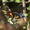American Redstart male
