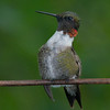 Ruby-throated Hummingbird male preening