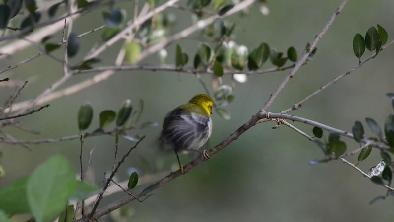 Black-throated green Warbler preening