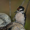 Juvenile Hairy Woodpecker checking out the water feature.