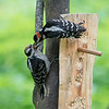 Hairy Woodpecker feeding juvenile