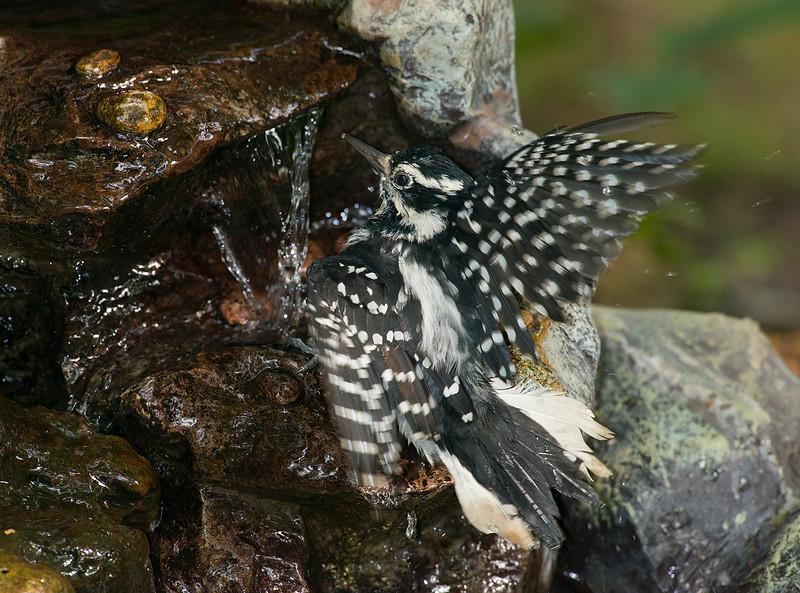 Hairy Woodpecker female splashing