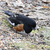 Eastern Towhee red-eyed