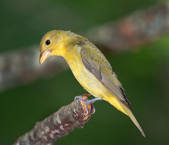 Scarlet Tanager female
