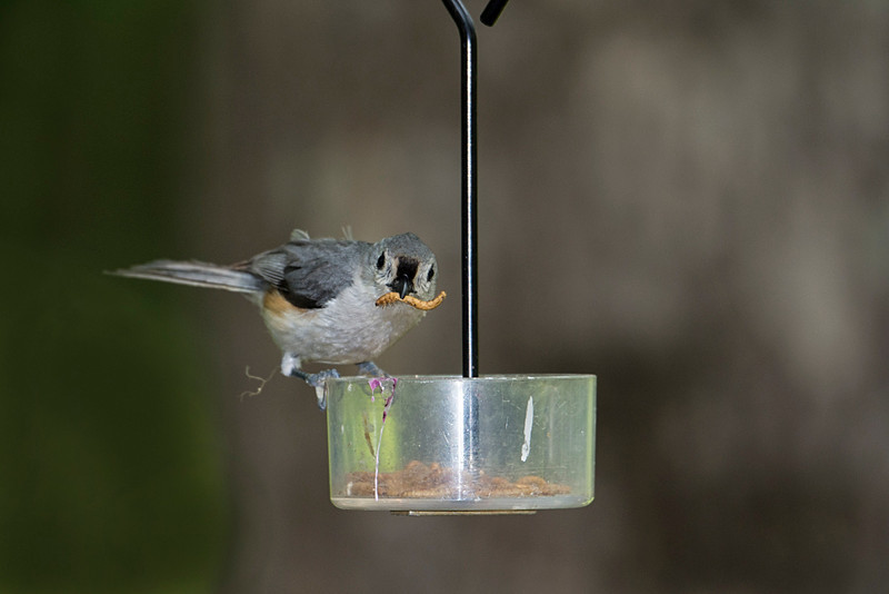 Titmouse getting a mealworm to feed chicks.