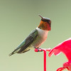 First of year male Ruby-throated Hummingbird, 3 April 2014