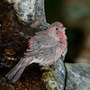 House Finch after a bath