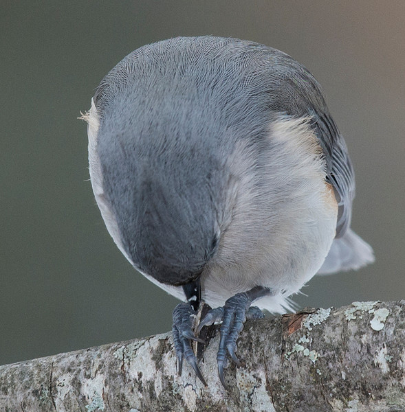 Tufted Titmouse eating a sunflower seed