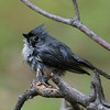 Wet Titmouse