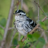 Black and White Warbler after a bath