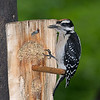This juvenile Hairy Woodpecker only took a few trips to the suet with the adult to figure out how to eat on its own.