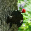 This Pileated Woodpecker kept vorking its way around the tree,  spreading its wings and looking up. Interesting behavior.