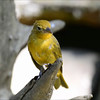 Scarlet Tanager female