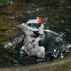 Hairy Woodpecker male bathing