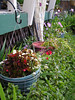 More baskets hang along the front of the deck. Out of reach of the invasive mint below. I need an antimint deity that works.