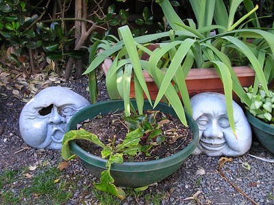 Two of the Four Faces: Old One-Eye and Fatface lurk among the plantings. Old One-Eye needs an eye patch. Hmm. Must have one around here with all the Honest Merchant traffic I get in my wine cellar.