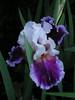 Bloomin' iris.