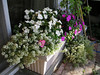 Window box. Happy impatiens.