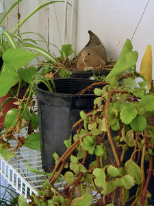 Three years ago a mourning dove raised about 5 litters on my plant shelf. Haven't seen them since--until this week. This is about 7 feet up. Hard to see from my watering stance on the ground.
