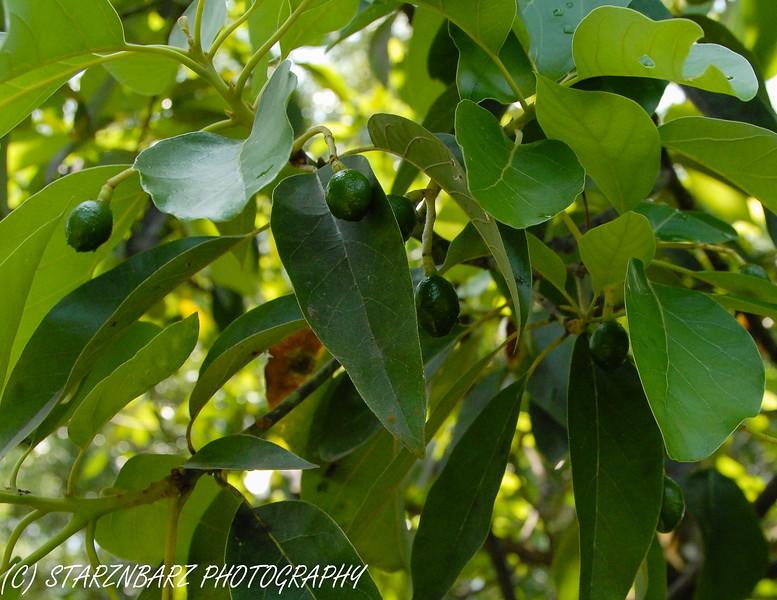 Baby Florida Avocados