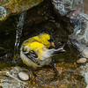 Goldfinch bathing