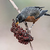 Robin eating Sumac berries