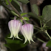 Morefield's Leather Flower (Clematis morefieldii)