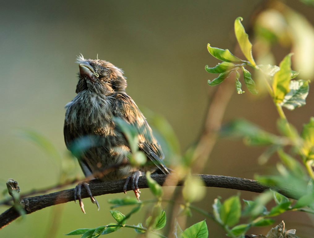 Finch fledgling napping in between feeding visits from the parents late one afternoon. Amazing how trusting they are when they are young, allowing for closer observation. This one would occasionally open one eye slightly to make sure I stayed put.