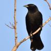 Gnorimopsar chopi<br /> Graúna<br /> Chopi Blackbird<br /> Chopí - Chopî