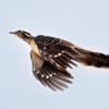 Dromococcyx phasianellus<br /> Peixe-frito-verdadeiro<br /> Pheasant Cuckoo<br /> Yasiyateré grande - Jasy jatere guasu