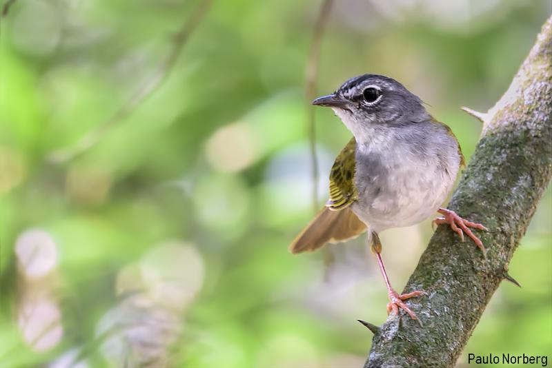 Myiothlypis leucoblephara<br /> Pula-pula-assobiador<br /> White-browed Warbler<br /> Arañero silbón - Mboropi