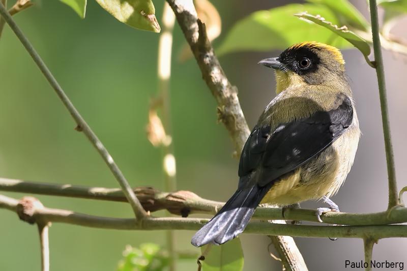 Lanio melanops<br /> Tié-de-topete<br /> Black-goggled Tanager <br /> Frutero corona amarilla - Kasygua