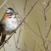 Zonotrichia capensis<br /> Tico-tico<br /> Rufous-collared Sparrow<br /> San Francisco - Chesyhasy
