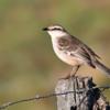 Mimus triurus<br /> Calhandra-de-três-rabos<br /> White-banded Mockingbird<br /> Calandria real - Guyra pepoasakati