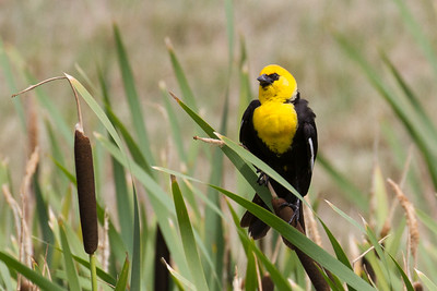 Yellow-headed Blackbird Conrad, Montana  late June 2016