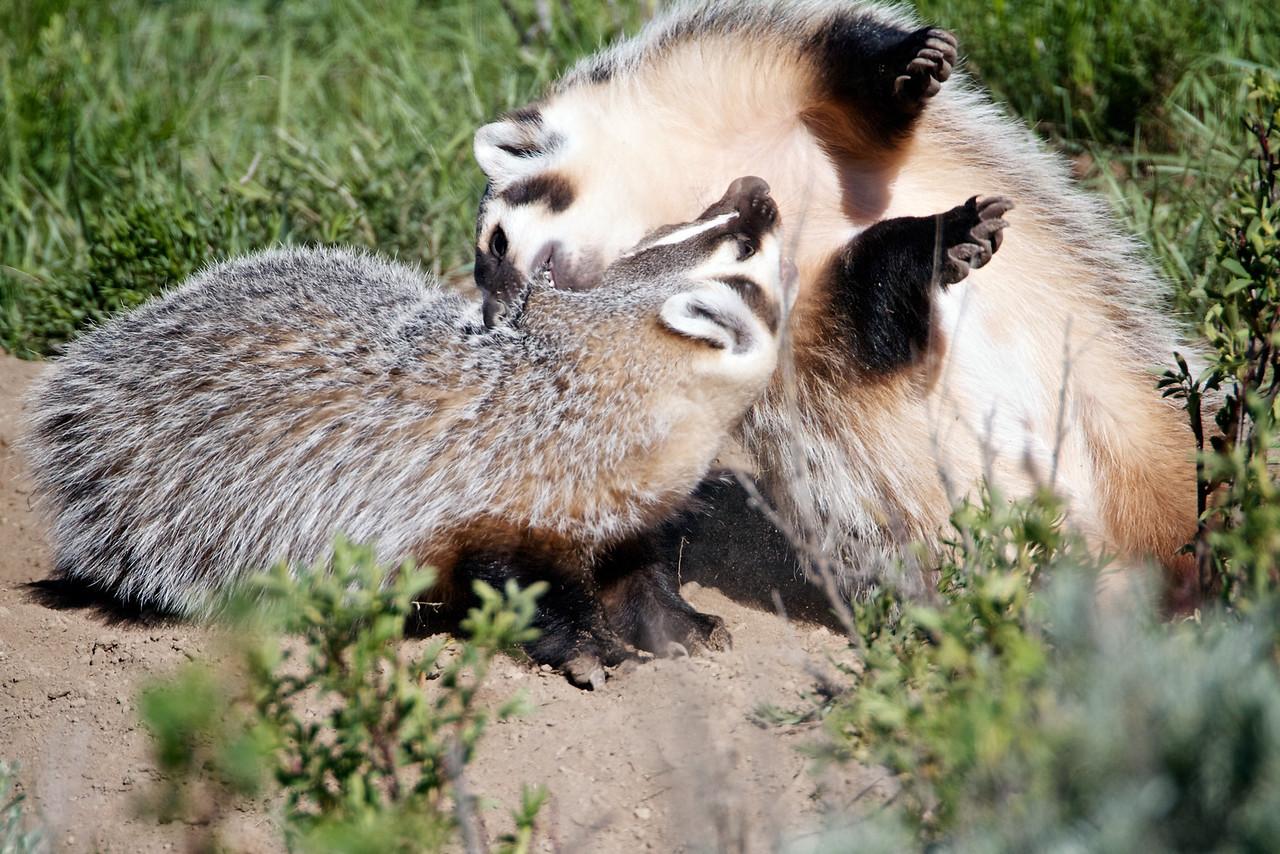 Badger fight