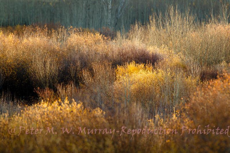 Crystal Creek willows.