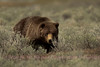 A well behaved bear in the Sagebrush.